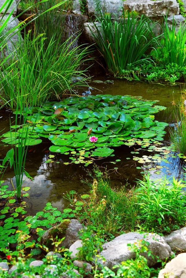 5.jezírko s vodními rostlinami
